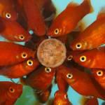 Visvoer kopen betekent visvoer halen dat bij je aquariumvissen past